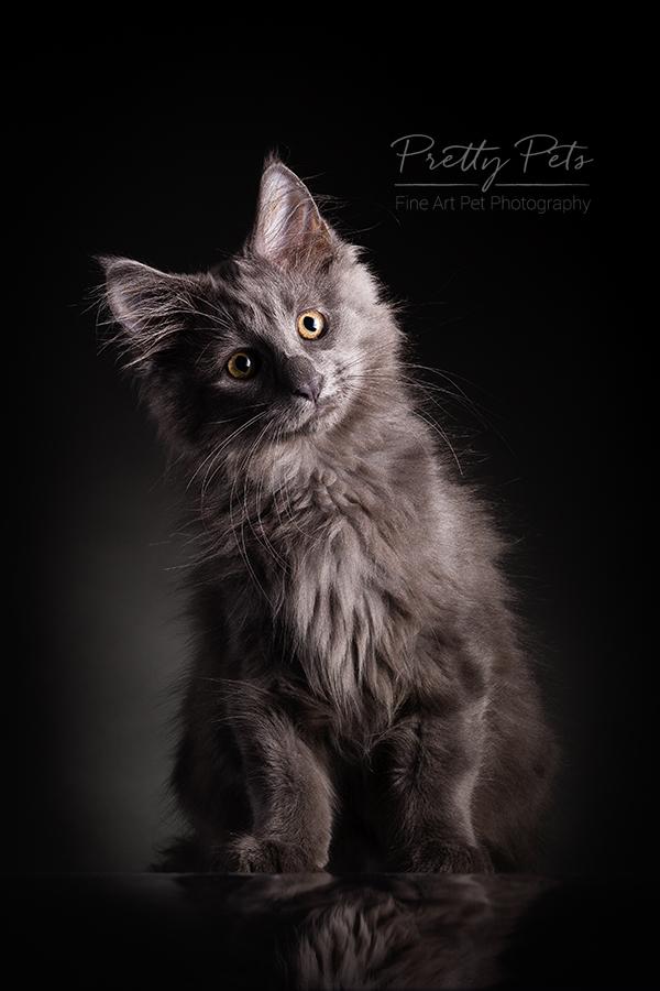 kattenfoto Main Coon