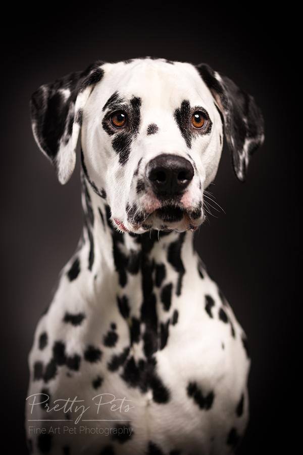 hondenfotografie Dalmatiër
