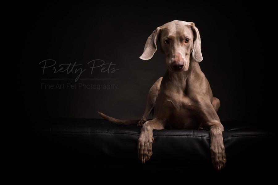 Weimaraner hondenfotografie