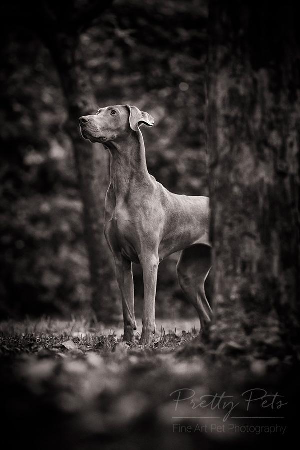 hondenfotograaf Weimaraner