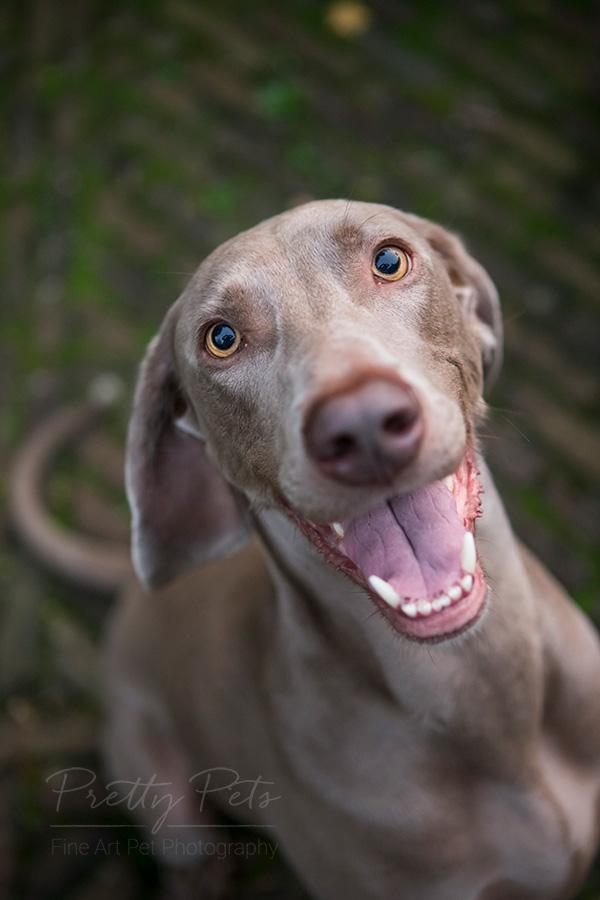 hondenfoto Weimaraner grappig