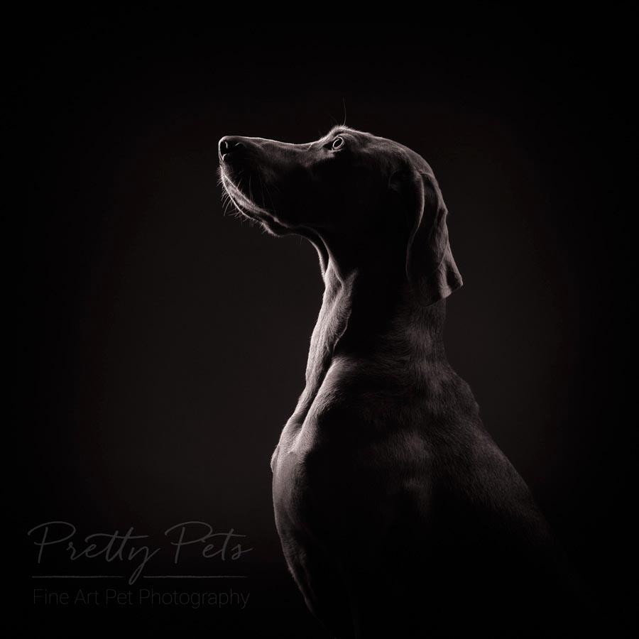 hondenfotografie Weimaraner silhouet