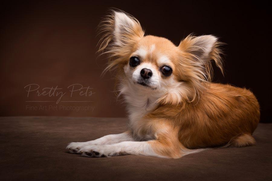 chihuahua portetfoto