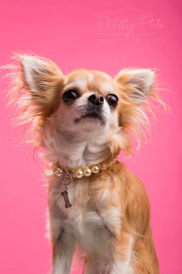 Pretty Pets hondenfotografie Chihuahua