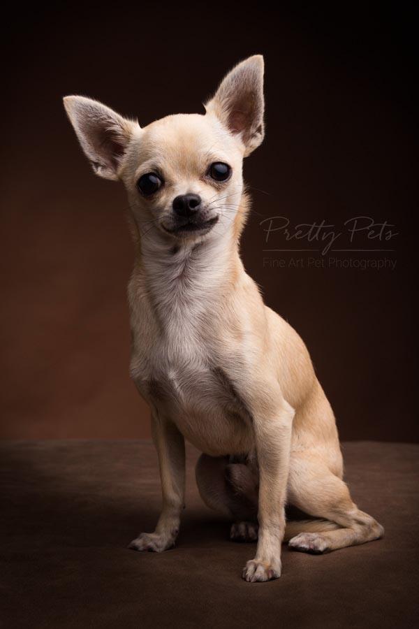 chihuahua portret hondenfotografie