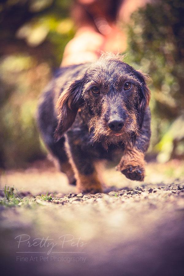 teckel actiefoto hondenfotografie