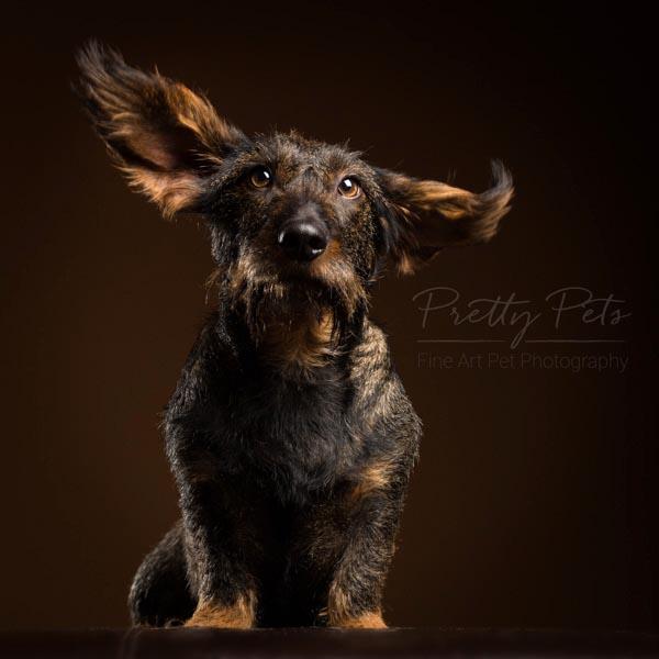 hondenfotografie teckel in studio