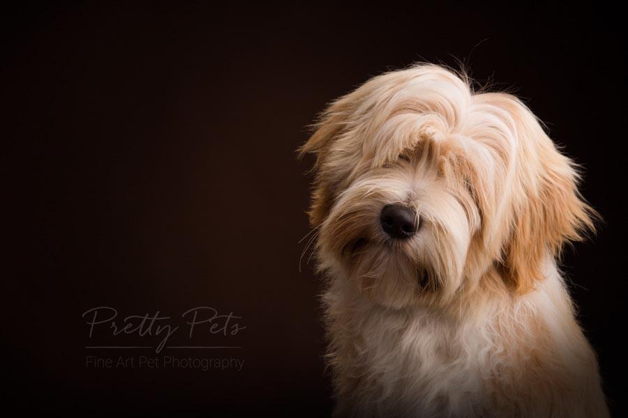 hondenfotograaf Tibetaanse Terrier