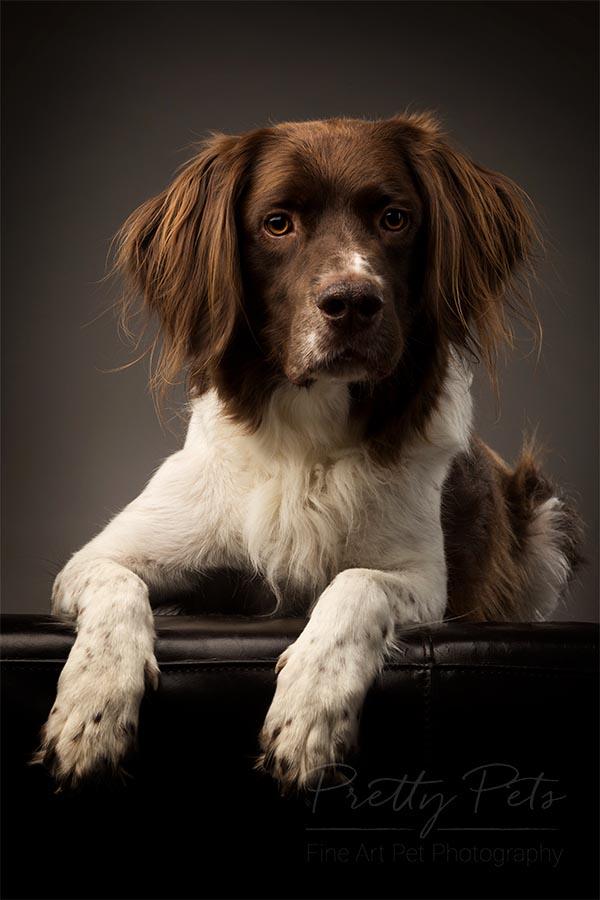 hondenfotograaf Drentse Patrijshond