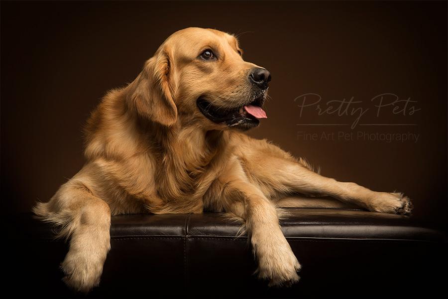 Hondenfotografie in studio Labrador