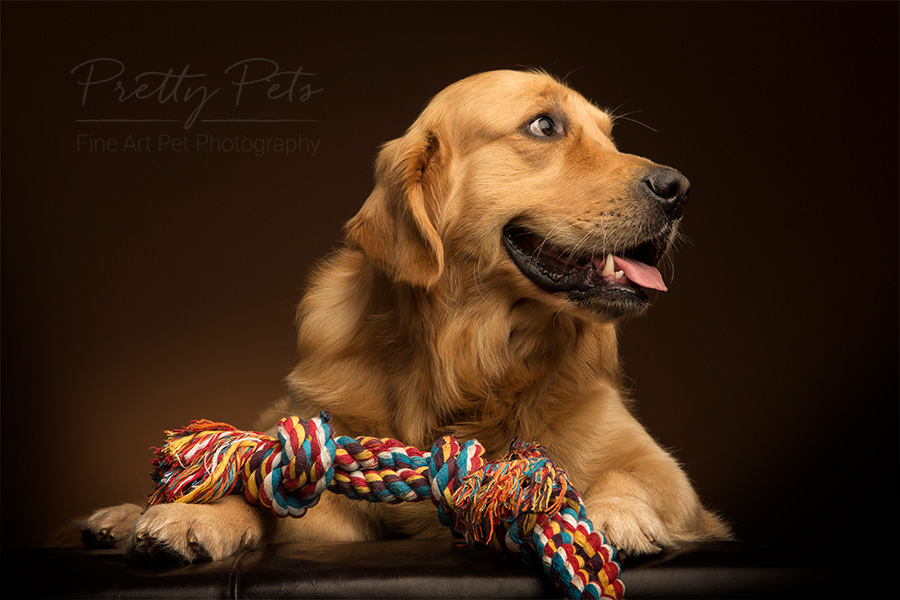 labrador hondenfotograaf