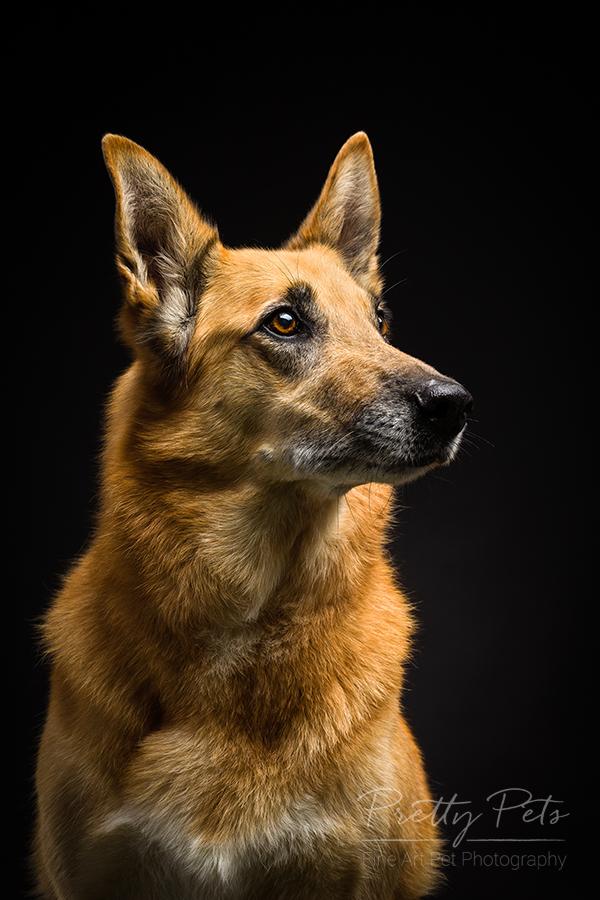 hondenfotografie Mechelse Scheper