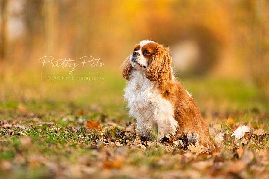 hondenfotografie Cavalier King Charles