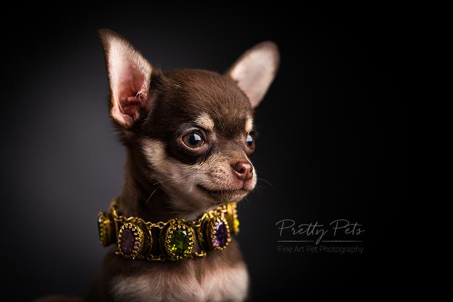 hondenfotografie Teacup Chihuahua